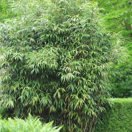 Bambou pseudosasa japonica for Bambou artificiel 2m