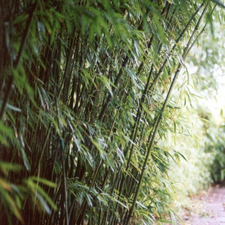haie en bambou phyllostachys humilis. Black Bedroom Furniture Sets. Home Design Ideas
