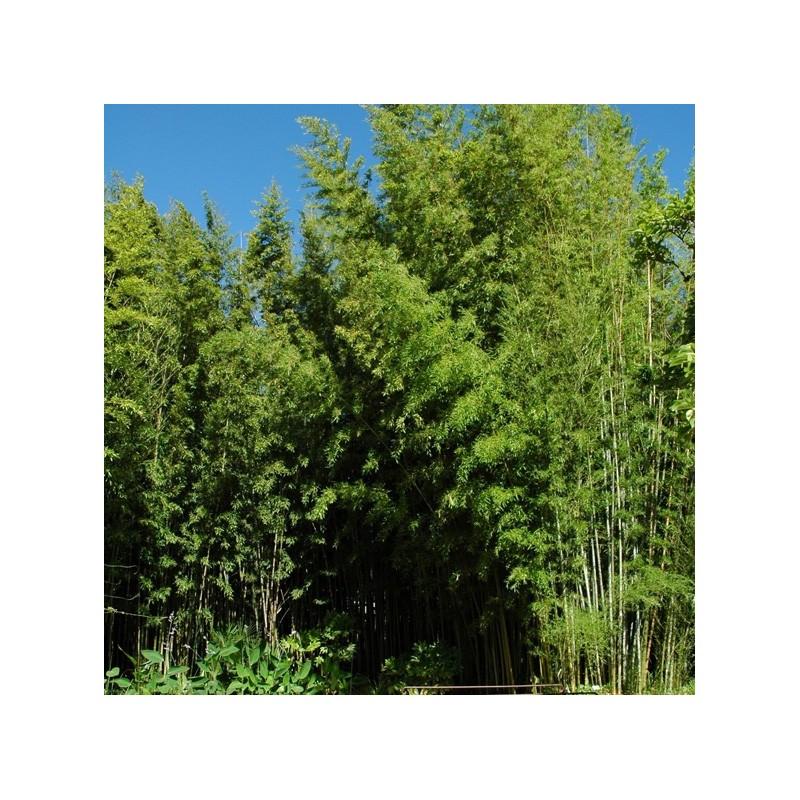 Haie en bambou phyllostachys nigra henonis - Engrais pour bambou ...