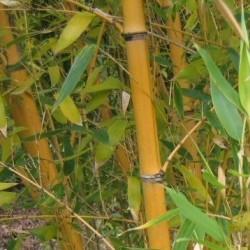 Bambou - Phyllostachys Viridis Sulfuréa