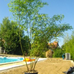 Bambou - Phyllostachys Pubescens MOSO