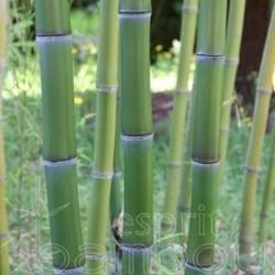 Bambou - Phyllostachys praecox