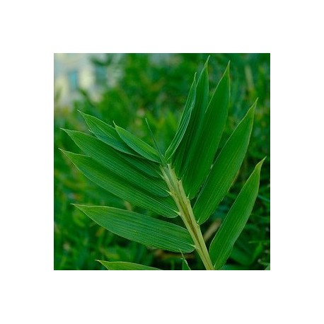 Bambou - Pleioblastus Distichus