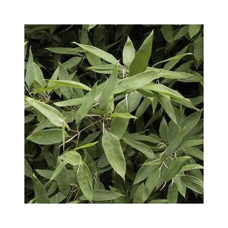 Bambou - Shibataea kumasaca