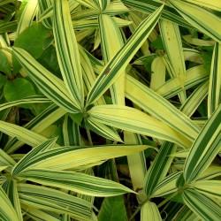 Bambou - Sasa masamuneana Albostriata