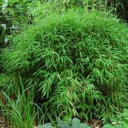 Bambou - Fargesia Murielae Bimbo