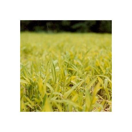Bambou - Pleioblastus auricoma