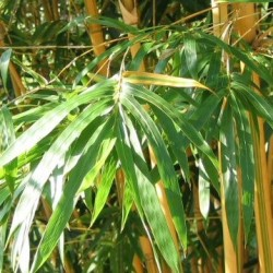 Bambou - bambusa multiplex Alphonse Karr