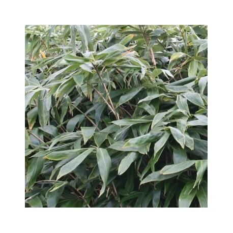 Bambou - Sasa Tsuboiana
