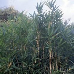 Bambou - Pleioblastus chino