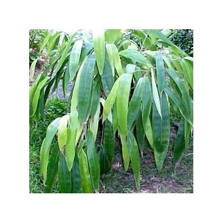 Bambou - Sasa tessellata