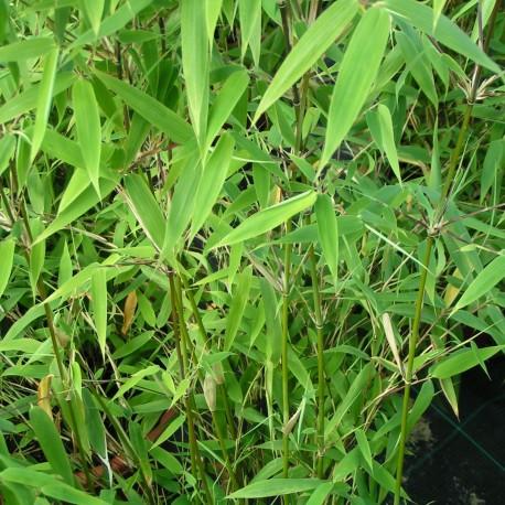 Bambou - Fargesia Murielae Tiny
