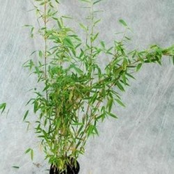 Bambou - Fargesia Murielae Dino