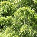Bambou - Brachystachyum densiflorum
