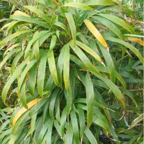 Bambou - Chimonobambusa quadrangularis