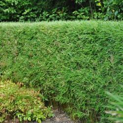 Bambou pour Haie - Esprit Bambou