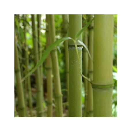Bambou - Phyllostachys atrovaginata