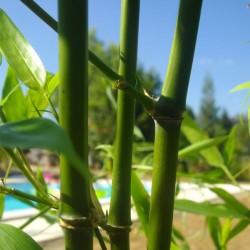 Bambou - Phyllostachys decora