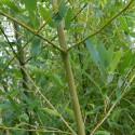Bambou - Phyllostachys Heteroclada