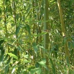Bambou - Phyllostachys humilis