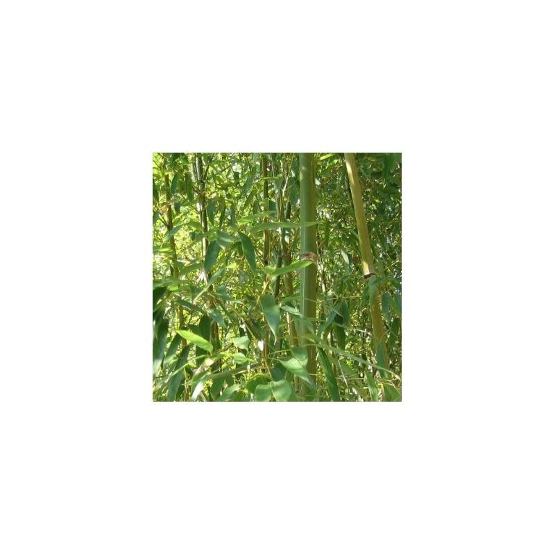 Bambou phyllostachys humilis for Bambou moyen phyllostachys bissetii