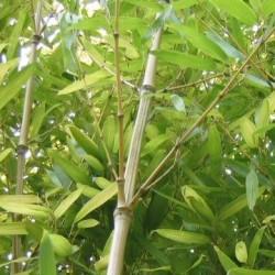 Bambou - Phyllostachys nidularia