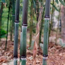 Bambou - Phyllostachys nuda