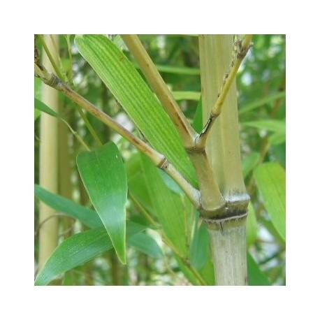 Bambou - Phyllostachys Viridis ou Mitis