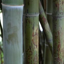 Bambou - Phyllostachys nigra Boryana