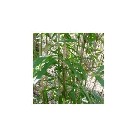 Bambou - Pleioblastus Chino Hisauchii
