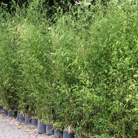 Lot De Bambous Phyllostachys Pour Haie Decorative