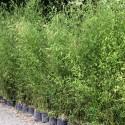 Lot de Bambous - Phyllostachys pour haie décorative