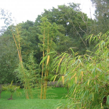 Lot de Bambous - Fargésia pour haie décorative