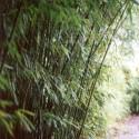 Haie en Bambou - Phyllostachys humilis