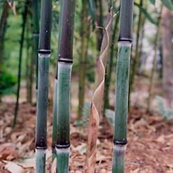 Haie en Bambou - Phyllostachys nuda