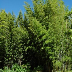Haie en Bambou - Phyllostachys nigra henonis
