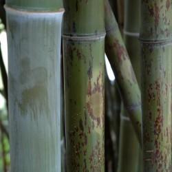 Haie en bambou Phyllostachys nigra Boryana