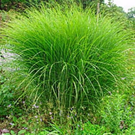 Miscanthus gracillimus pot de 10 l - Graminees en pot ...
