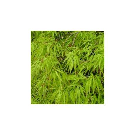 """Acer Palmatum """"Dissectum Viridis"""""""