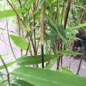 Bambou - Fargesia Volcano