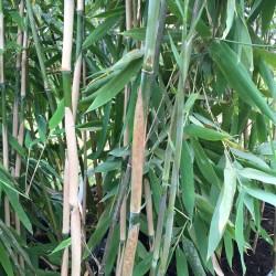 Bambou  Fargesia Obelisk
