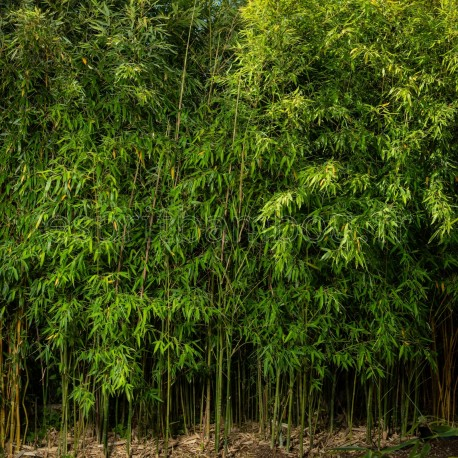 Haie en Bambou - Phyllostachys Aurea