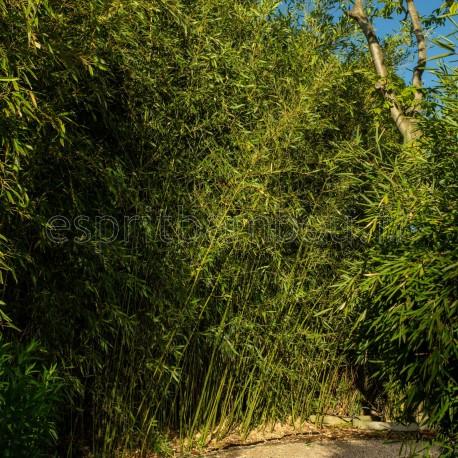 haie en bambou phyllostachys bissetii. Black Bedroom Furniture Sets. Home Design Ideas