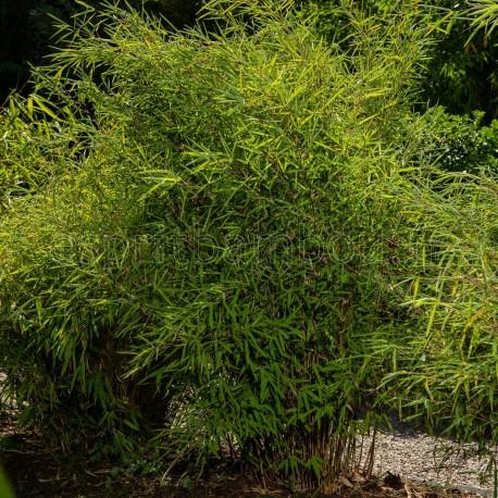 Bambou Fargesia Black Pearl