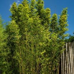 Bambou - Semiarundinaria fastuosa