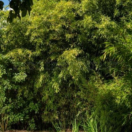 Haie en Bambou - Phyllostachys Flexuosa