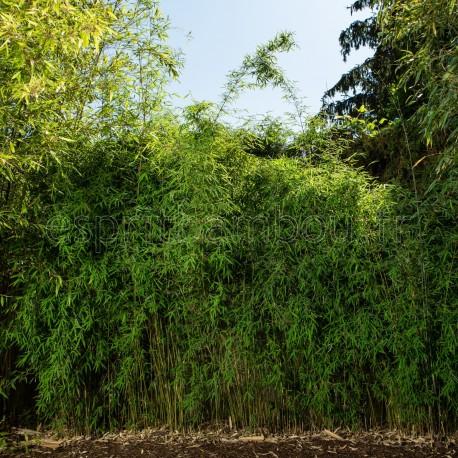 Bambou - Fargesia Nitida Jiuzhaigou 1