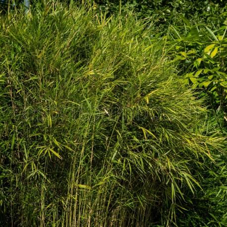 Bambou - Pleioblastus linearis