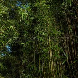 Bambou - Semiarundinaria makinoi