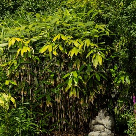 Bambou - Sasa palmata Nebulosa